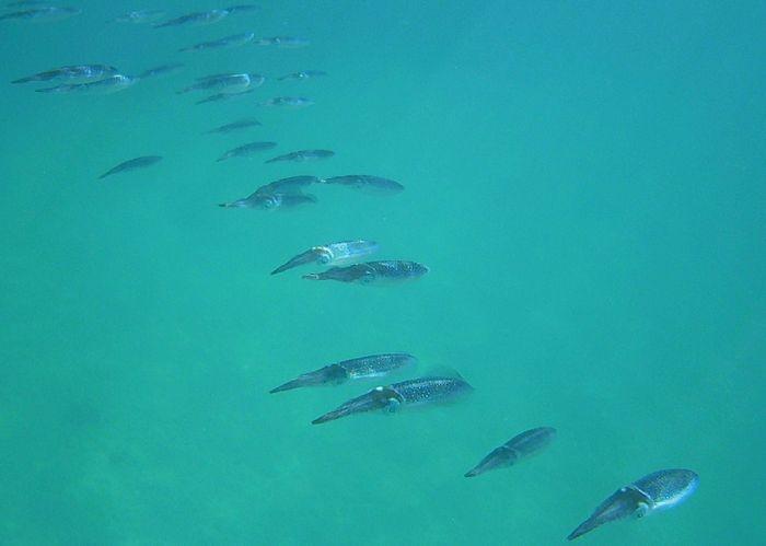 イカの大群です