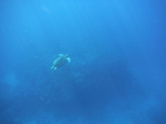 優雅に泳ぐカメさんです。