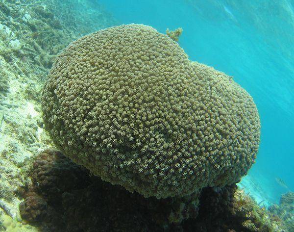 キクメハナガササンゴ