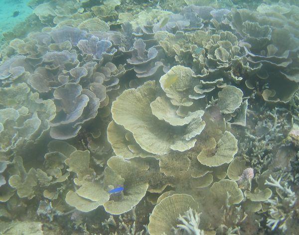 マイタケみたいなサンゴ。リュウキュウキッカサンゴ