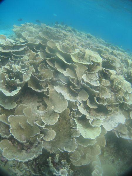 リュウキュウキッカサンゴ。変わった形のサンゴです