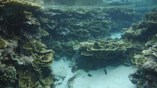 びっちりとマイタケサンゴが広がります
