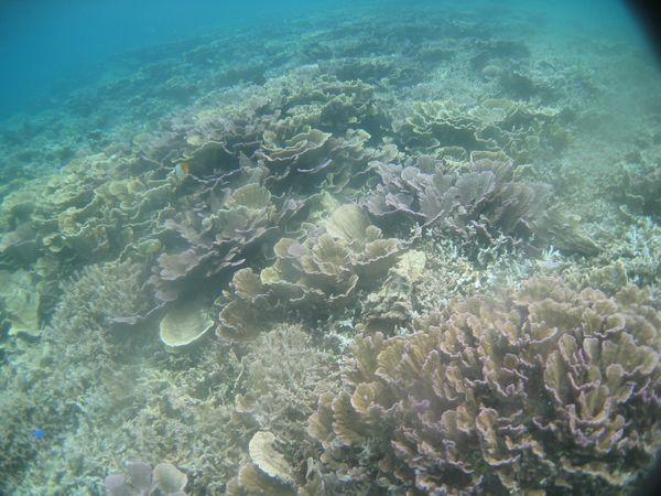 リュウキュウキッカサンゴ群落