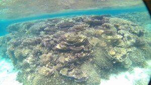 シュノーケルポイントご紹介ブログ、マイタケサンゴは名前とは裏腹にきれいなサンゴです。