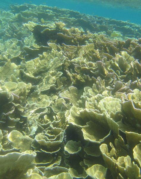リュウキュウキッカサンゴの群落