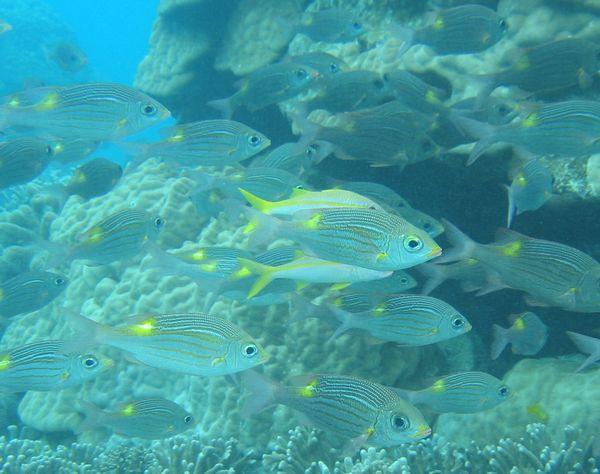 群れる魚、ノコギリダイの群れ
