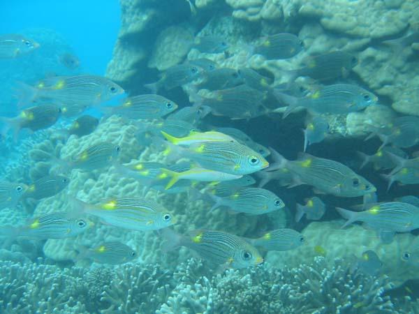 ノコギリダイの群れ。水深2mが近づけない!