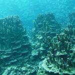 パラハマサンゴの群落
