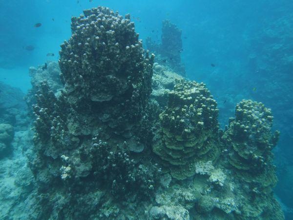 大きなパラオハマサンゴ