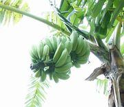 バナナ、まだまだいっぱいです