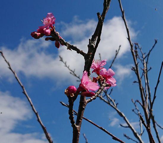 サクラが咲き始めています。