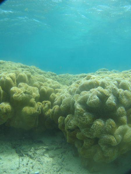 柔らかいサンゴです。ウミキノコ