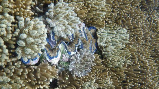 シャコガイがサンゴに埋もれています
