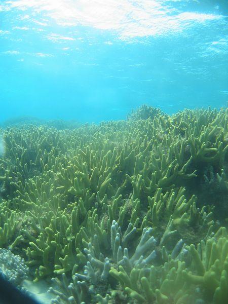 サンゴ畑の上を遊泳♪